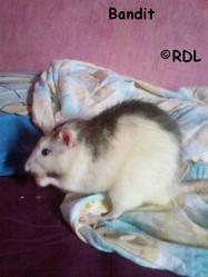 Bandit, rongeur Rat