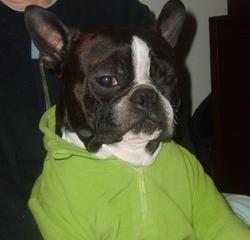 Neo, chien Terrier de Boston