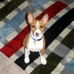 Azar , chien Basenji