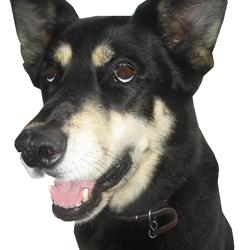 Mirka, chien Husky sibérien