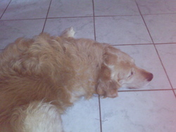 Sammy, chien Golden Retriever