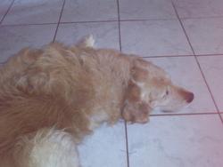 Sammy, chien Golden Retriever