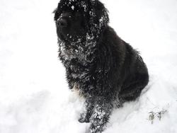 Falcone, chien Terre-Neuve