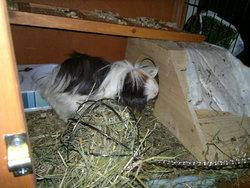 Effy, rongeur Cochon d'Inde