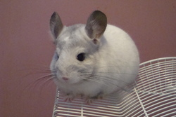 Voltaire, rongeur Chinchilla