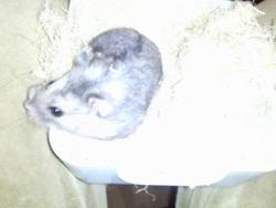 Moonwalk, rongeur Hamster