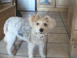 Lucie, chien Caniche