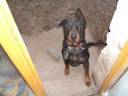 Titeuf, chien Beauceron