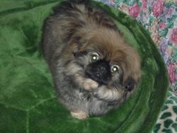 Lancelle, chien Pékinois