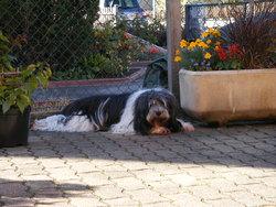 Siwy, chien