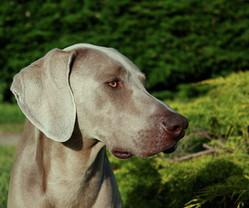 Charly, chien Braque de Weimar