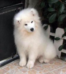 Tchico, chien Samoyède