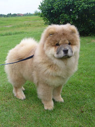 Filou, chien Chow-Chow