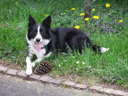 Jena, chien Border Collie