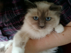 Gibbs, chat Birman