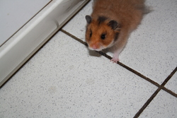 Thibault, rongeur Hamster