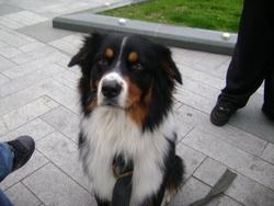 Koko, chien Berger australien