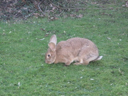 Cacahuète, rongeur Lapin