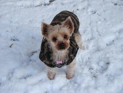 Chataigne, chien Yorkshire Terrier
