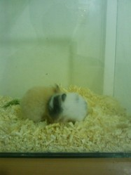 Maron, rongeur Hamster