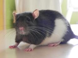 Rha, rongeur Rat