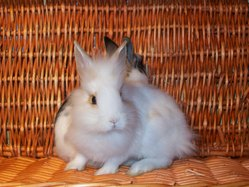 Moutarde , rongeur Lapin