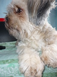 Octane, chien Lhassa Apso