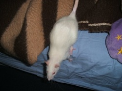 Praline, rongeur Rat