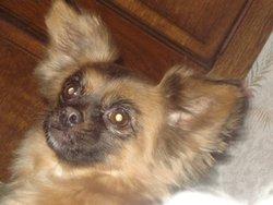 Bella, chien Pékinois
