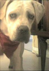 Checky, chien Cane Corso