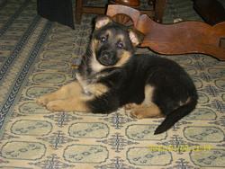 Fydjie, chien Berger allemand