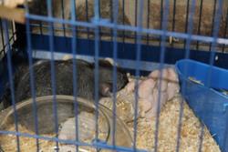 Ratatouille, rongeur Chinchilla