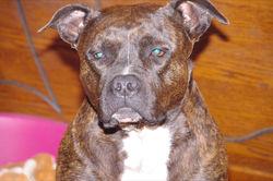 Anouchka, chien American Staffordshire Terrier