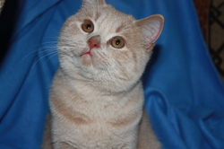 Fripon, chat British Shorthair
