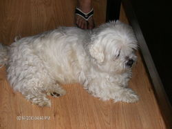 Poutchy, chien Shih Tzu