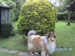 Balou, chien Colley à poil long
