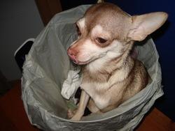 Kooky, chien Chihuahua