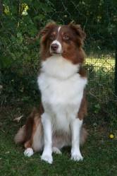 Sydney, chien Berger australien