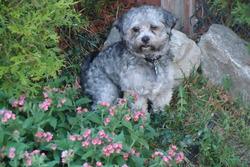Bébèr, chien Bichon maltais