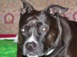 Keisha, chien Staffordshire Bull Terrier