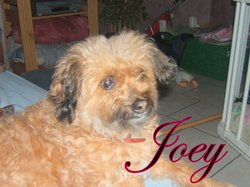 Joey, chien