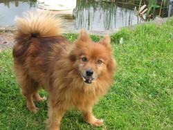 Marabout, chien Spitz allemand