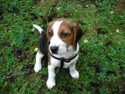 Emy, chien Beagle