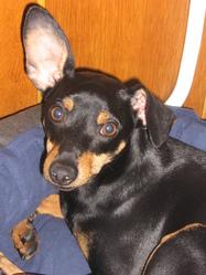 Bicky, chien Pinscher