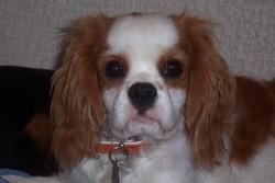 Dayou, chien Cavalier King Charles Spaniel