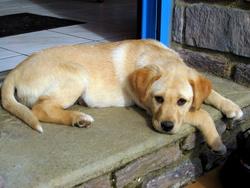 Eclypse, chien Labrador Retriever