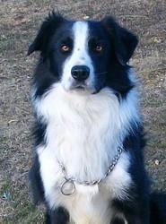 Bonic De Montels, chien Border Collie