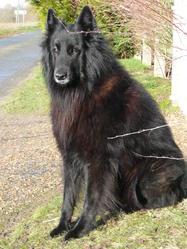 Ursus, chien Berger belge