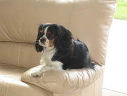 Princesse, chien Cavalier King Charles Spaniel