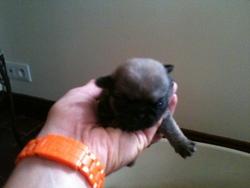Gaia, chien Carlin